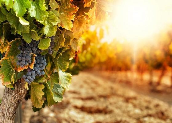 evangile-vigne-semeur La semence dans la bonne terre.