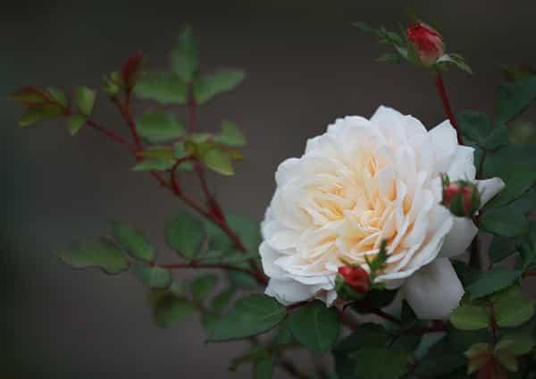 rosier-austin-crocus-rose-venue La venue, humble et glorieuse, de notre Roi.